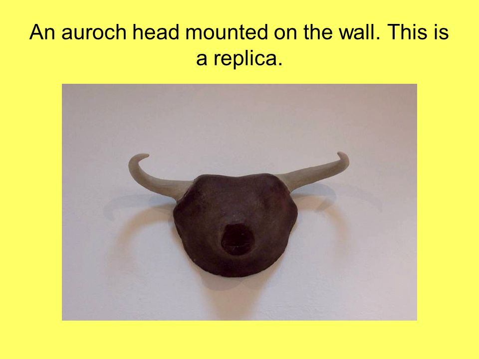 An auroch head mounted on the wall. This is a replica.