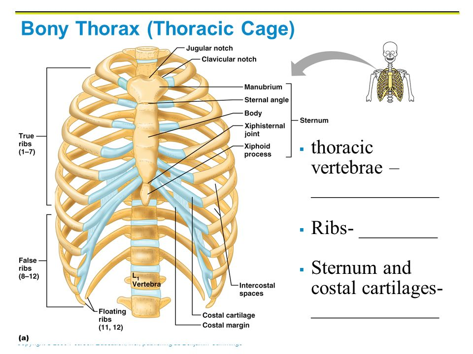 The Skull Vertebral Column And Thoracic Cage Form The Skeleton