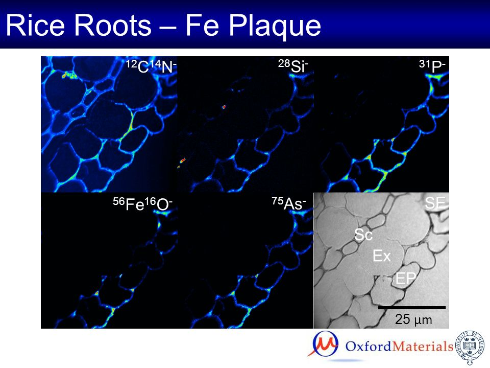 Rice Roots – Fe Plaque 12C14N- 28Si- 31P- 56Fe16O- 75As- SE Sc Ex EP