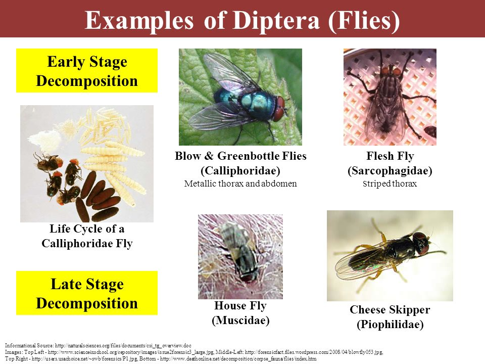 Examples of Diptera (Flies)