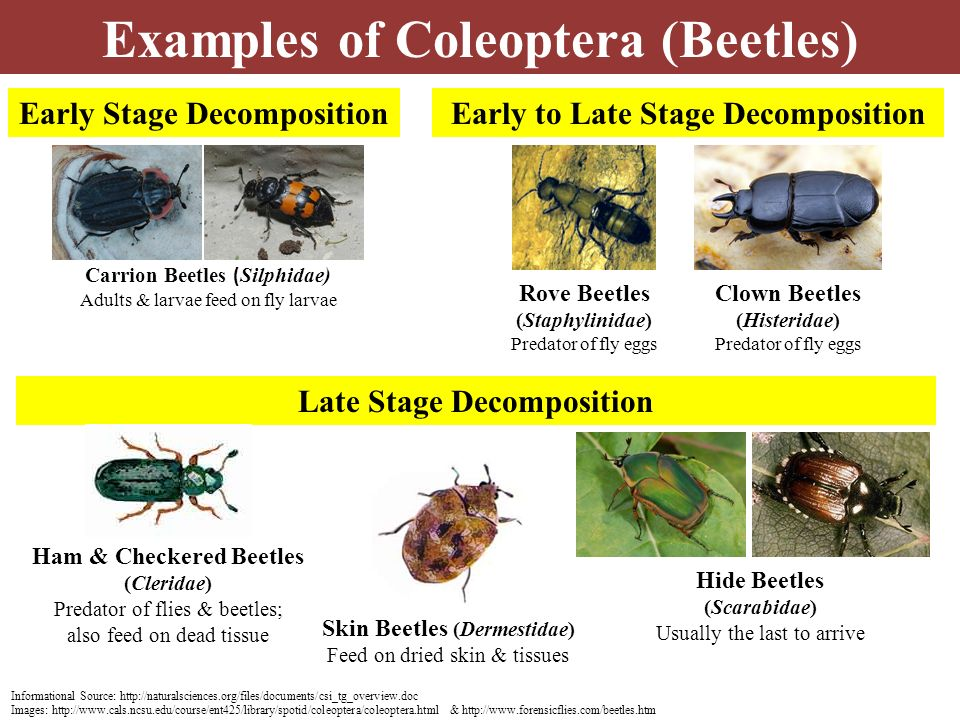 Examples of Coleoptera (Beetles)