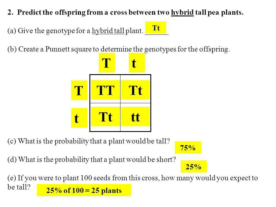 2. Predict the offspring from a cross between two hybrid tall pea plants.