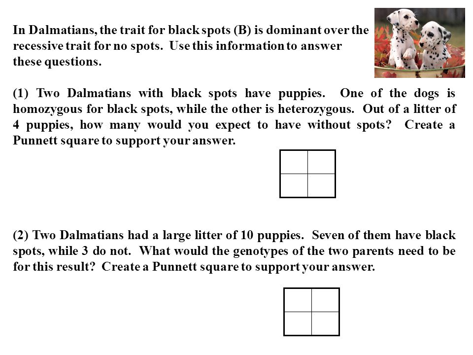 In Dalmatians, the trait for black spots (B) is dominant over the recessive trait for no spots. Use this information to answer these questions.