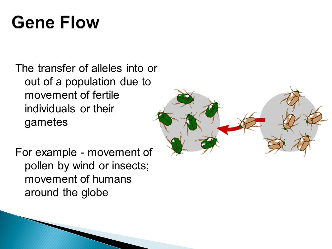 Gene Flow The transfer of alleles into or out of a population due to movement of fertile individuals or their gametes.