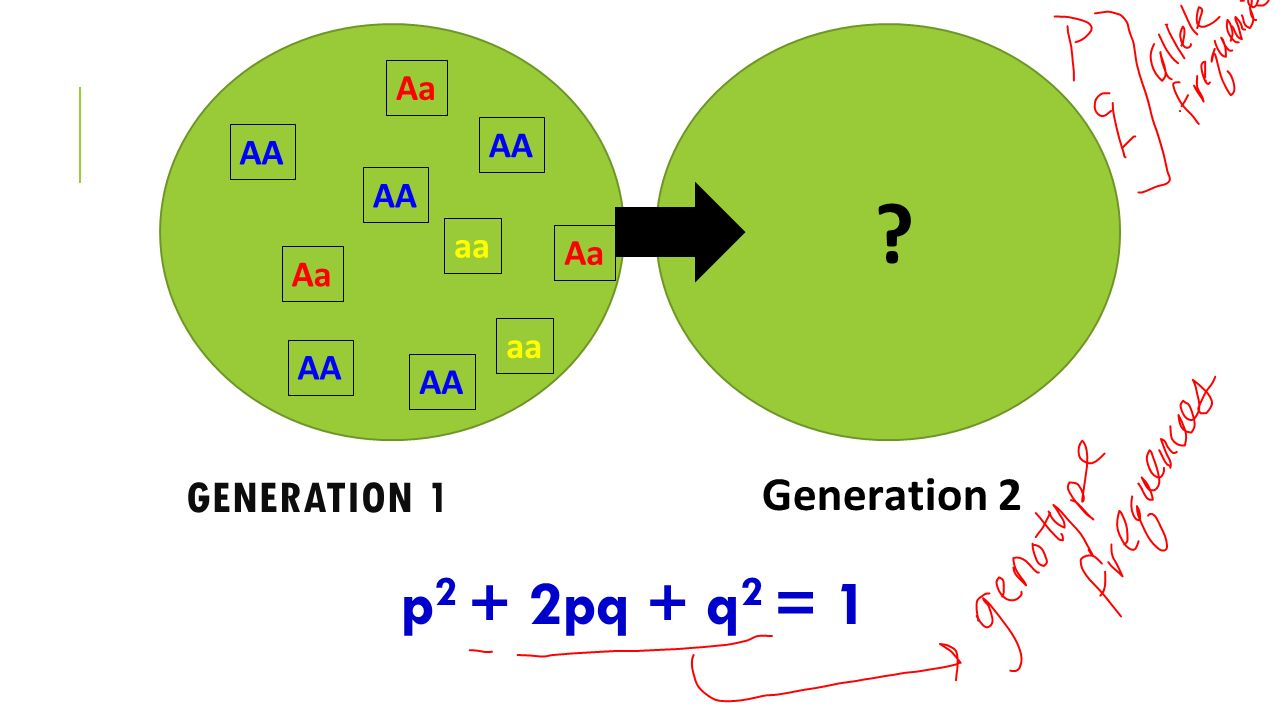 AA Aa aa Generation 1 Generation 2 p2 + 2pq + q2 = 1