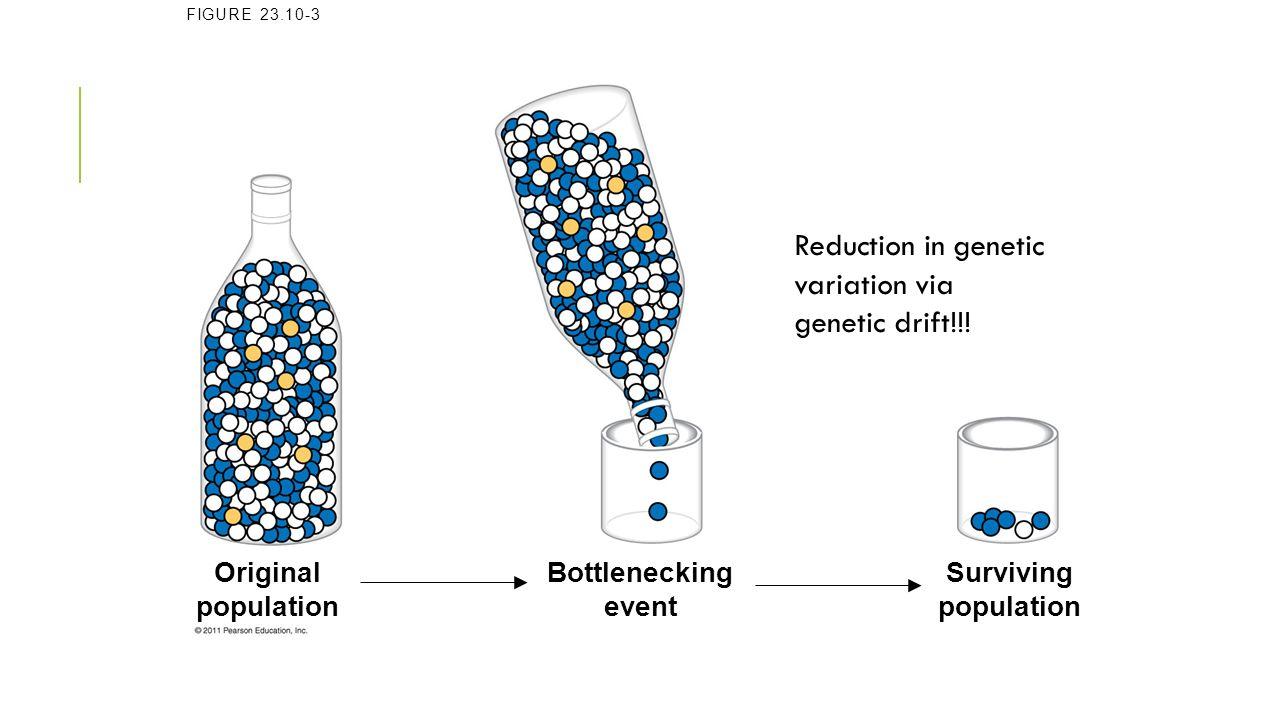 Reduction in genetic variation via genetic drift!!!
