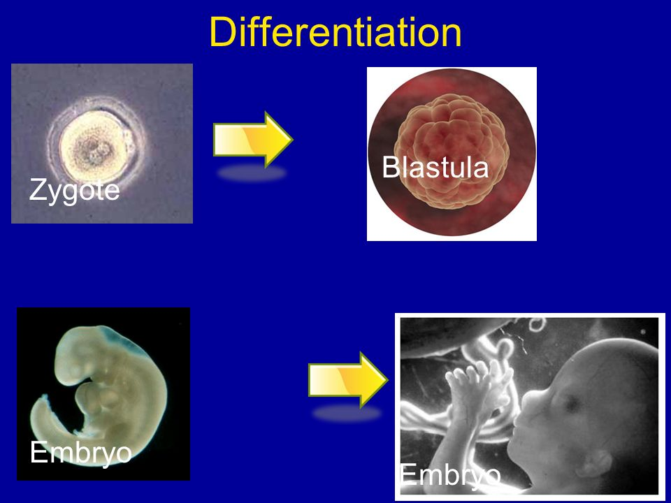 Differentiation Blastula Zygote Embryo Embryo