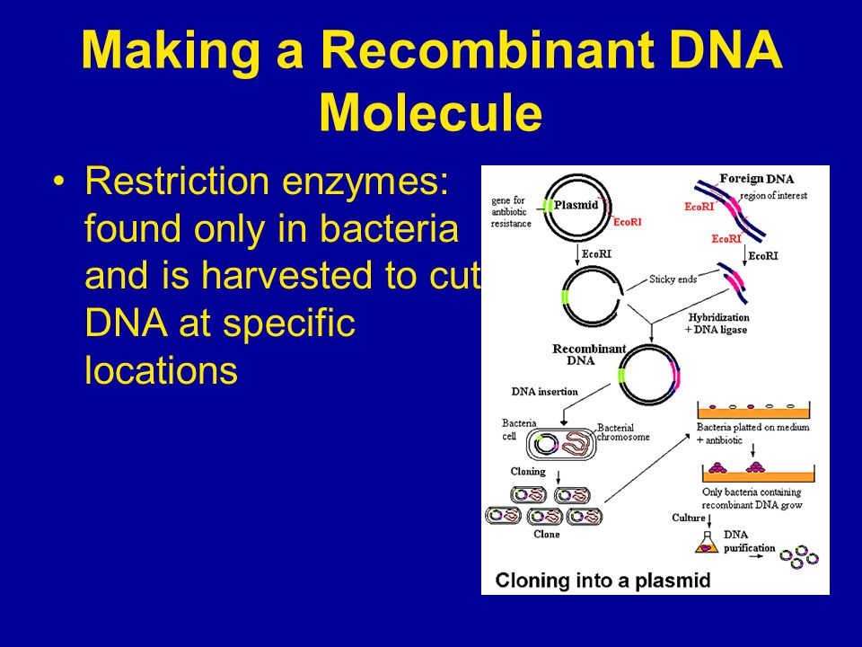 Making a Recombinant DNA Molecule