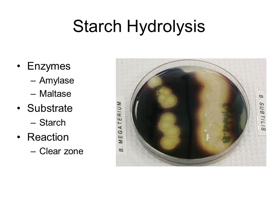 amylase hydrolysis of starch test Starch hydrolysis agar  which an organism may hydrolyze with the production of amylase  for the hydrolysis of starch a positive test is indicated by a.