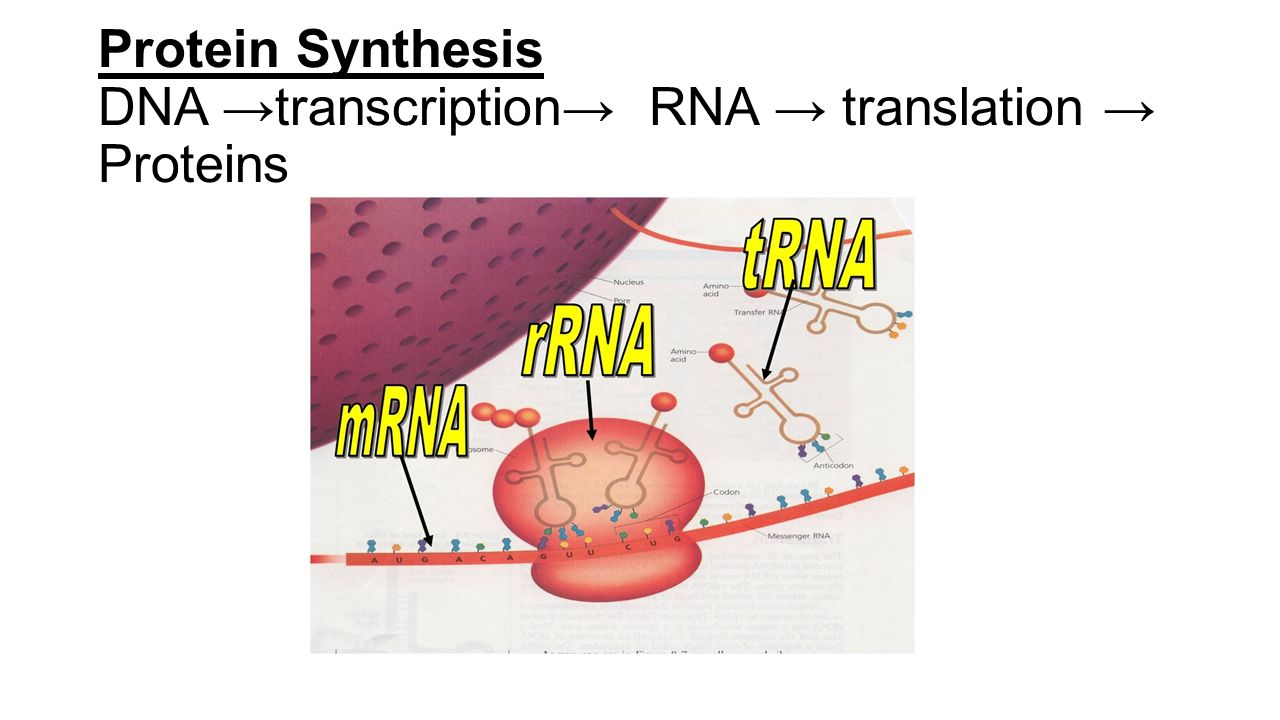 translation and protein synthesis pdf