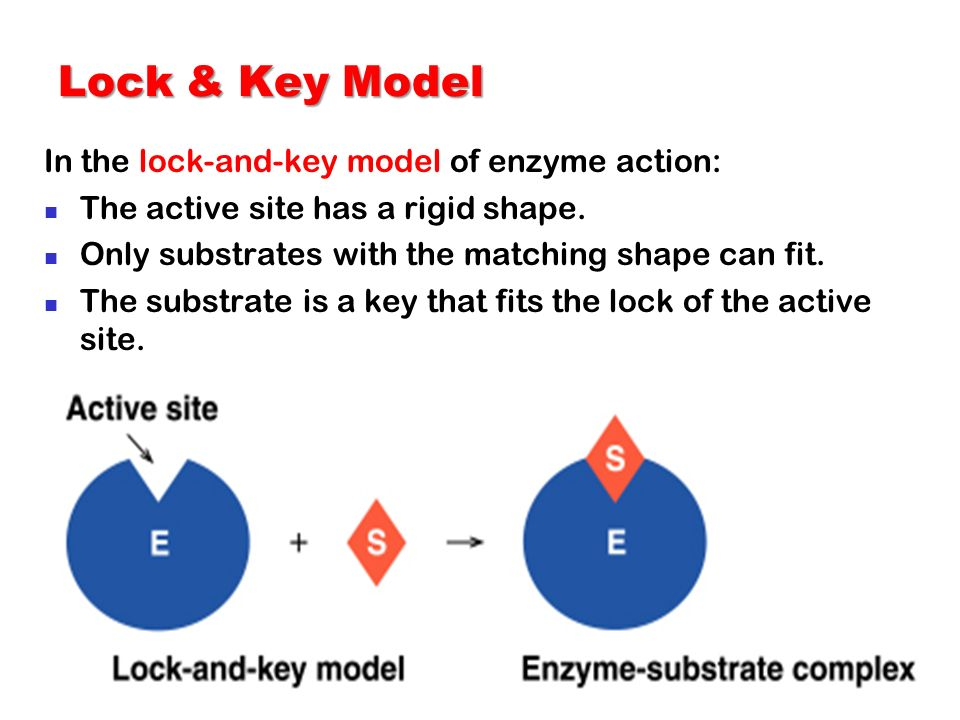 Lock & Key Model In the lock-and-key model of enzyme action: