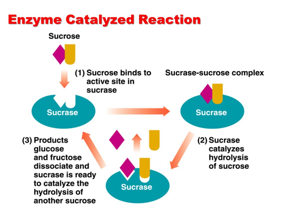 catalase reactions 14092010 students describe how an enzyme works in both cold water and warm water you can see a clear reaction in both instances, but much more bubbling in.