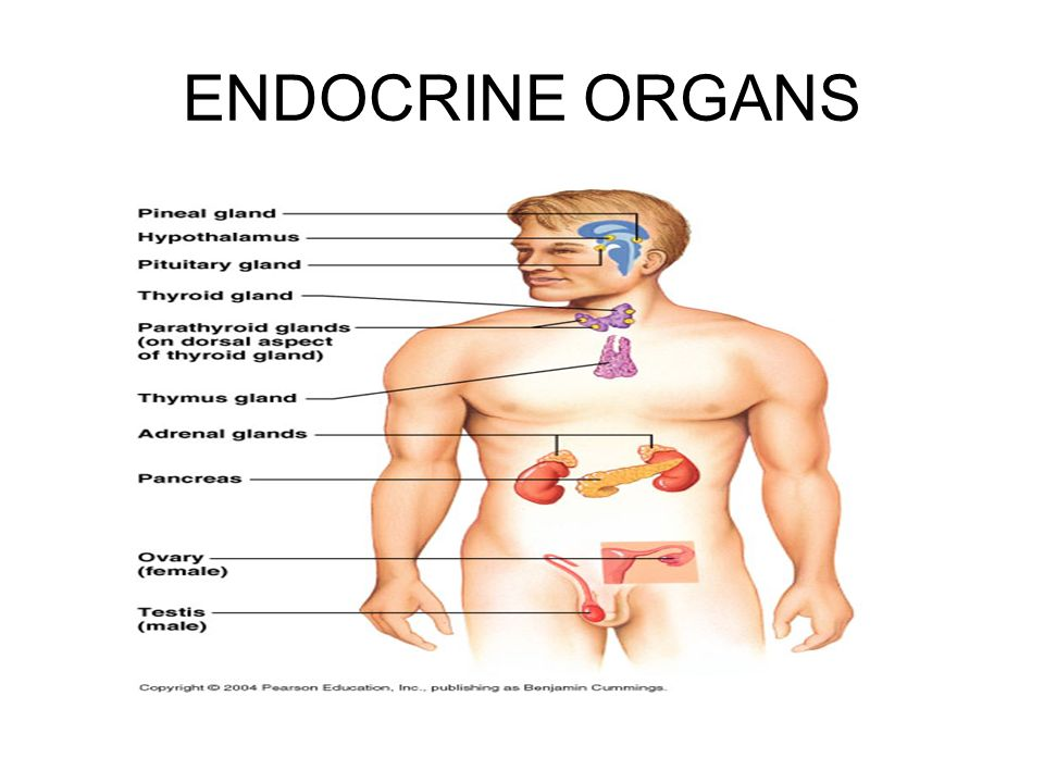 The Endrocine System Ppt Download