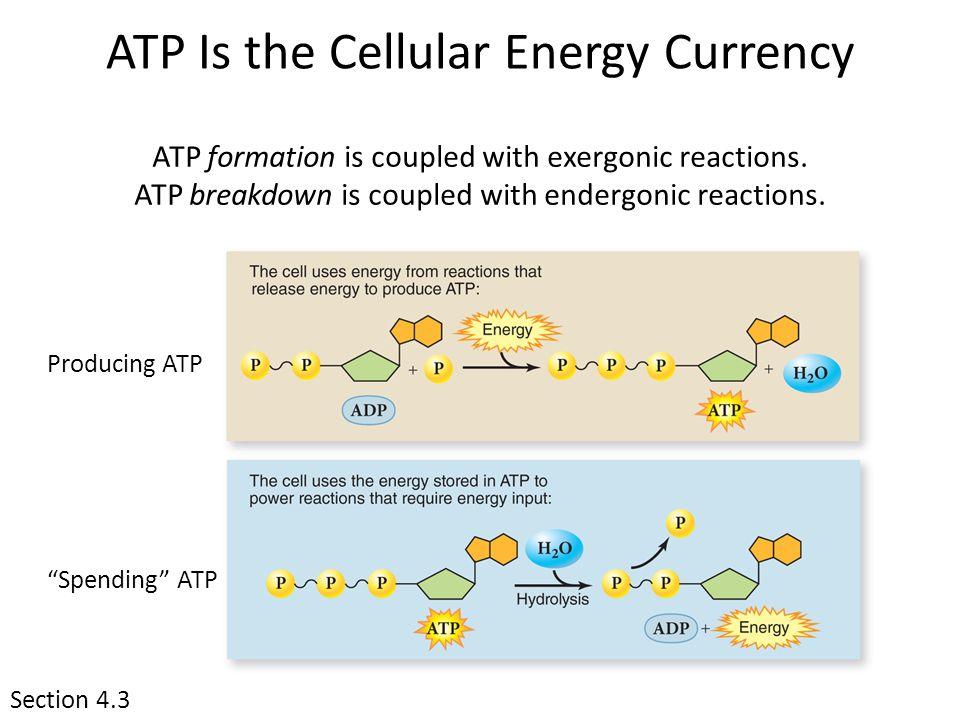 exergonic endergonic catabolic anabolic