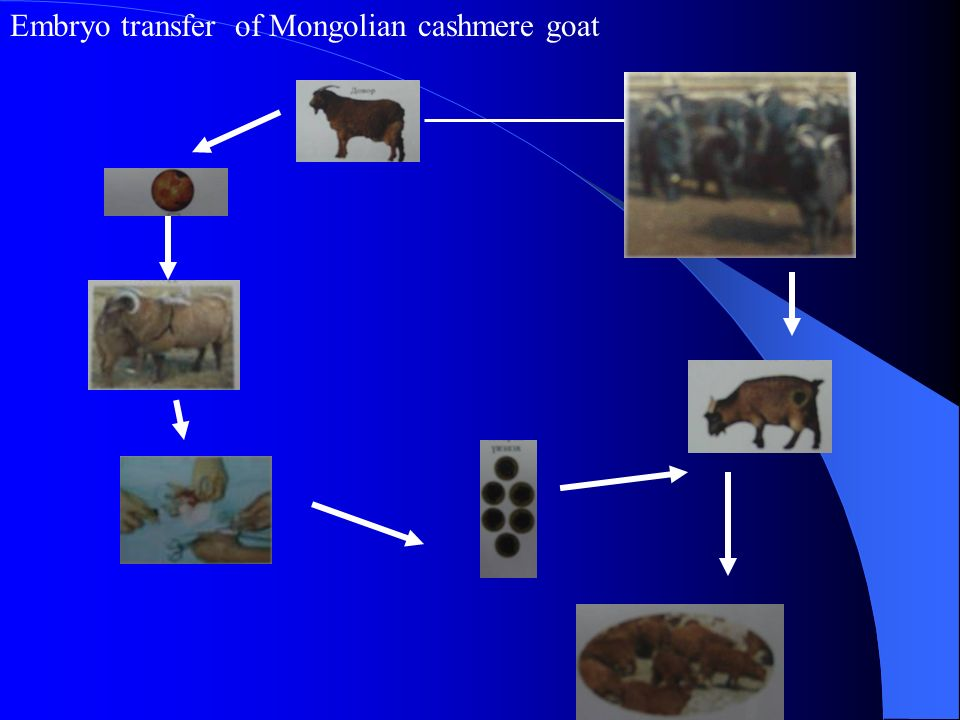 Embryo transfer of Mongolian cashmere goat