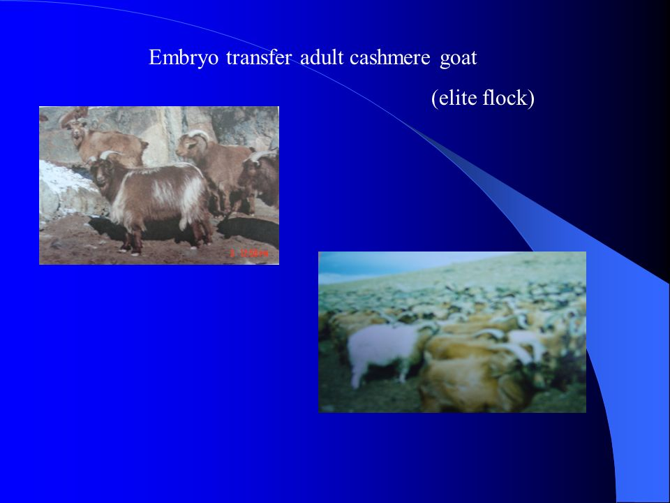 Embryo transfer adult cashmere goat