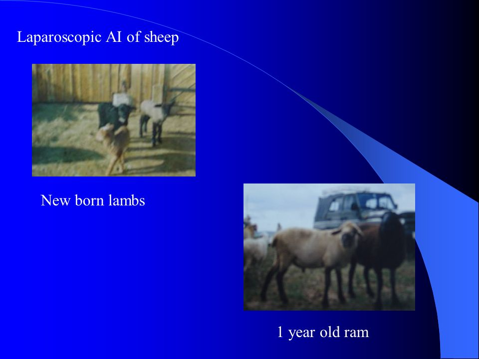 Laparoscopic AI of sheep