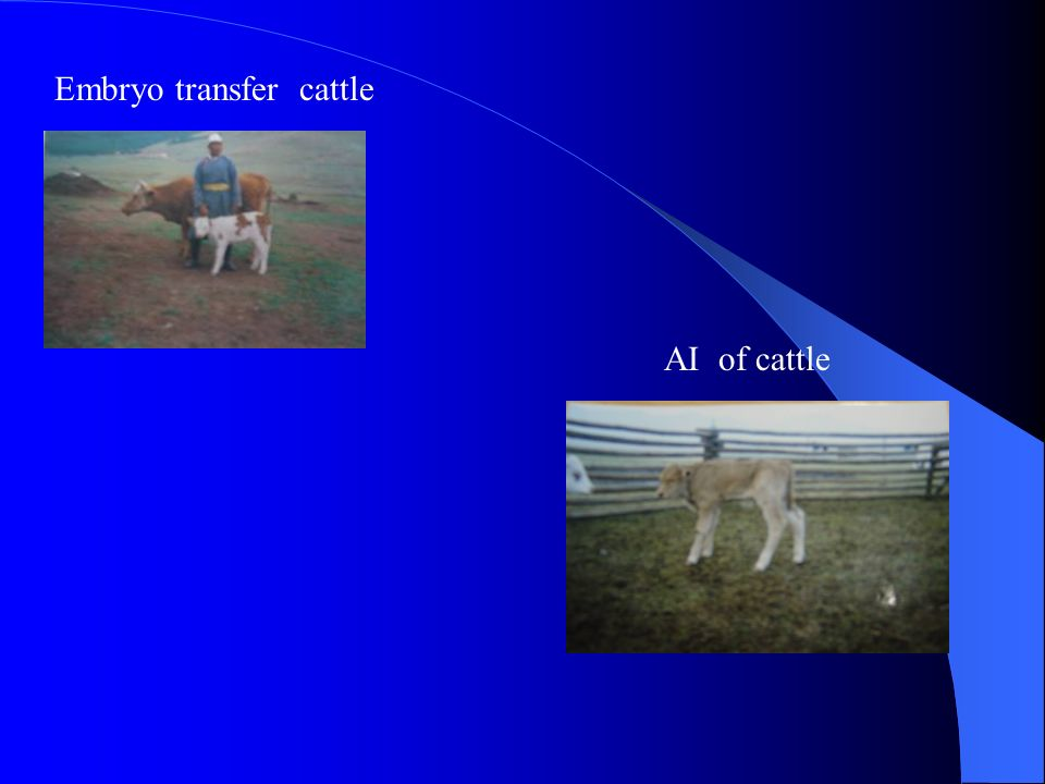 Embryo transfer cattle