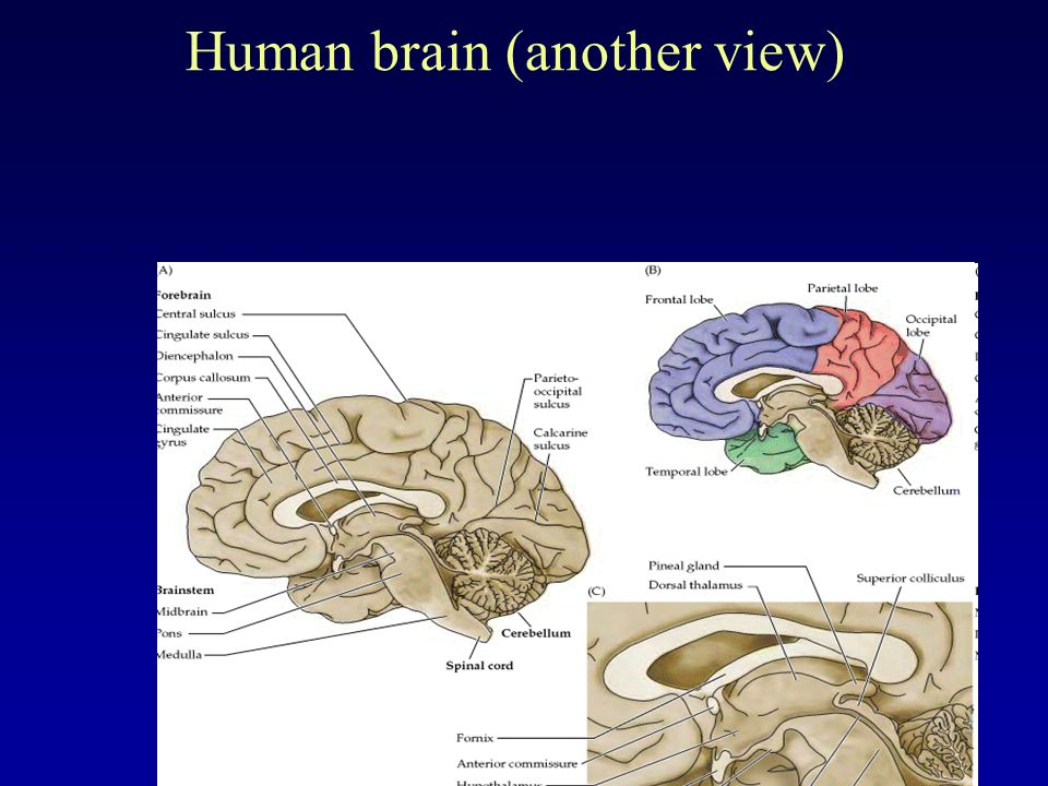 the brain a central control station of the human body Usually such prosthetics are operated using joysticks or, if connected directly to the human body, electrical signals from muscles footage from the tests a full video can be seen here .