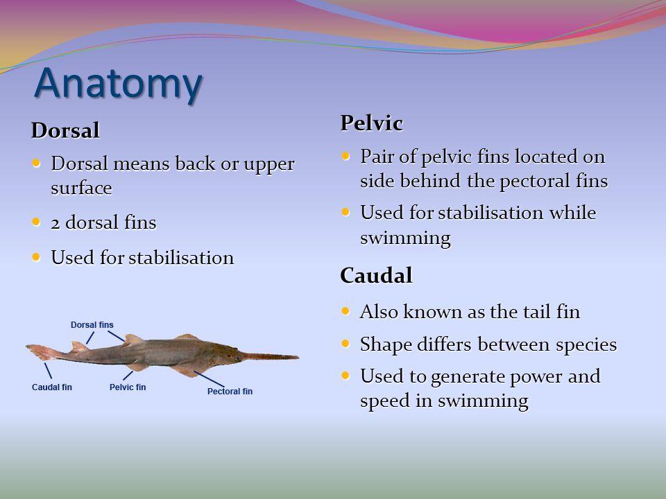 Anatomy Pelvic Dorsal Caudal
