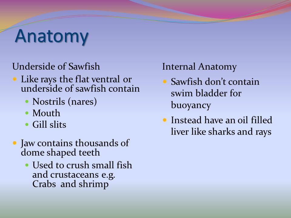 Anatomy Internal Anatomy Underside of Sawfish