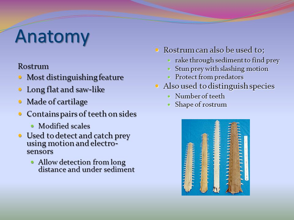 Anatomy Rostrum can also be used to; Rostrum