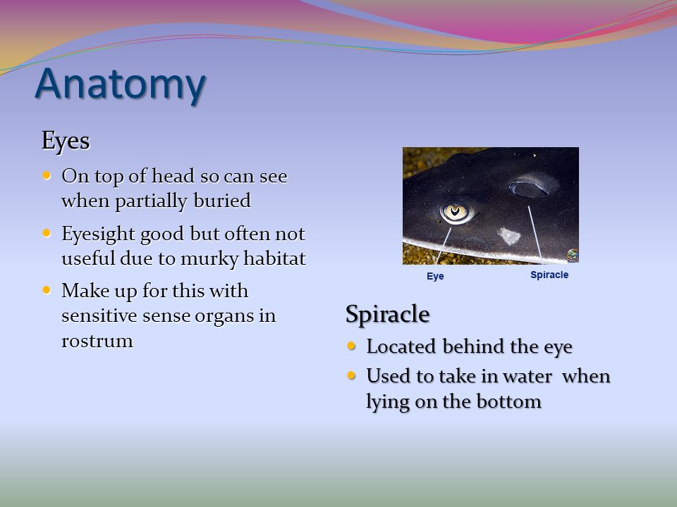 Anatomy Eyes Spiracle On top of head so can see when partially buried