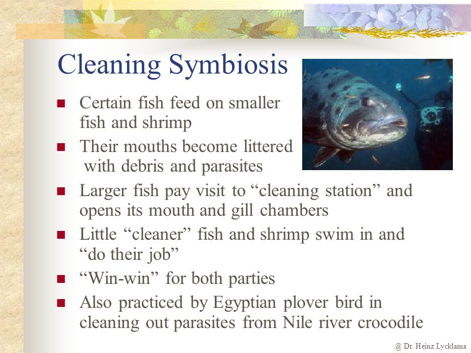 Cleaning Symbiosis Certain fish feed on smaller fish and shrimp