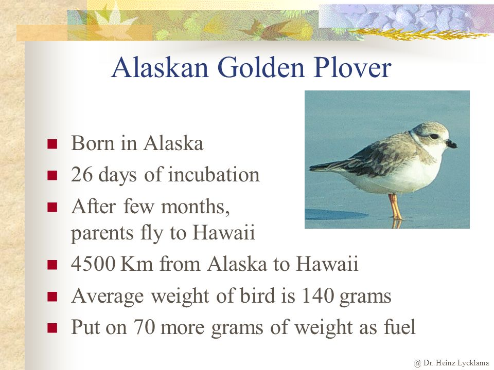 Alaskan Golden Plover Born in Alaska 26 days of incubation