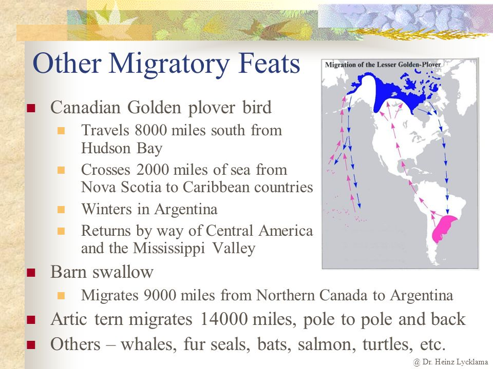 Other Migratory Feats Canadian Golden plover bird Barn swallow
