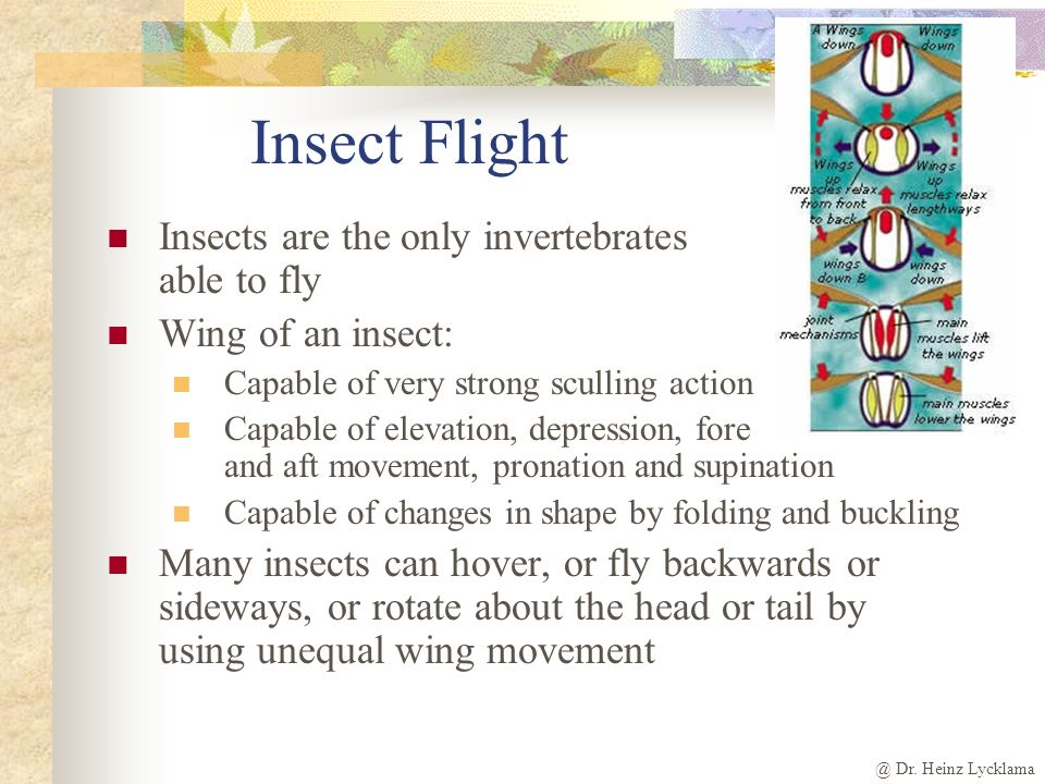 Insect Flight Insects are the only invertebrates able to fly