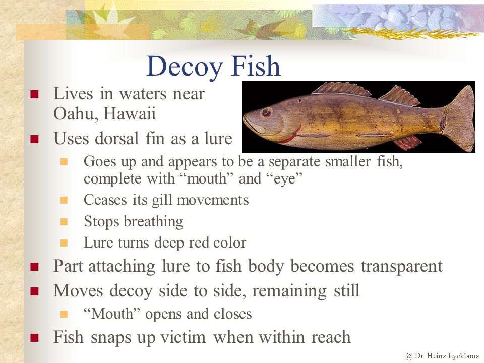 Decoy Fish Lives in waters near Oahu, Hawaii Uses dorsal fin as a lure