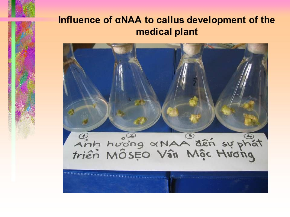 Influence of αNAA to callus development of the medical plant