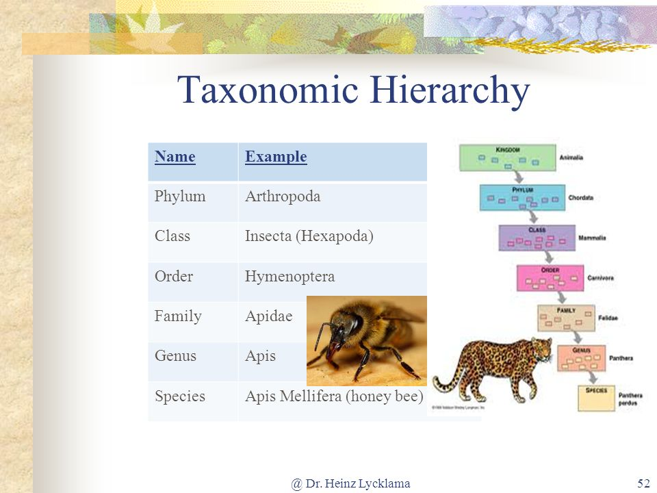 Taxonomic Hierarchy Name Example Phylum Arthropoda Class
