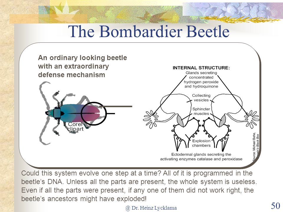 The Bombardier Beetle An ordinary looking beetle with an extraordinary