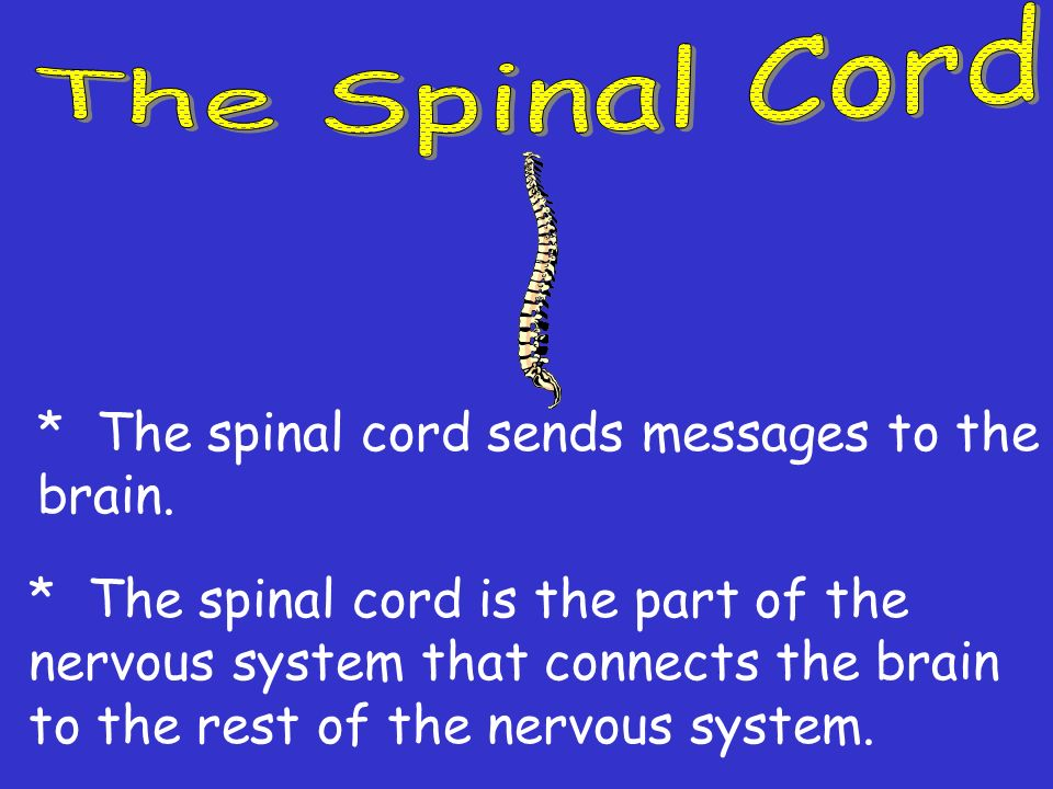 The Spinal Cord * The spinal cord sends messages to the brain.