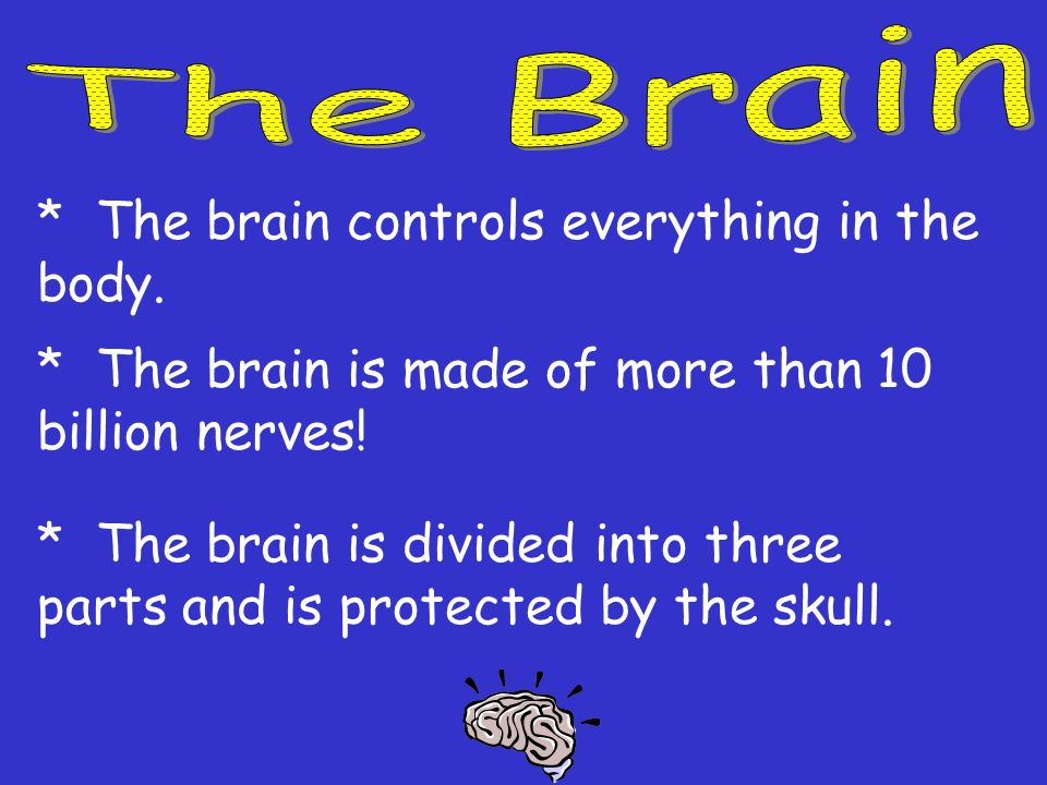 The Brain * The brain controls everything in the body. * The brain is made of more than 10 billion nerves!