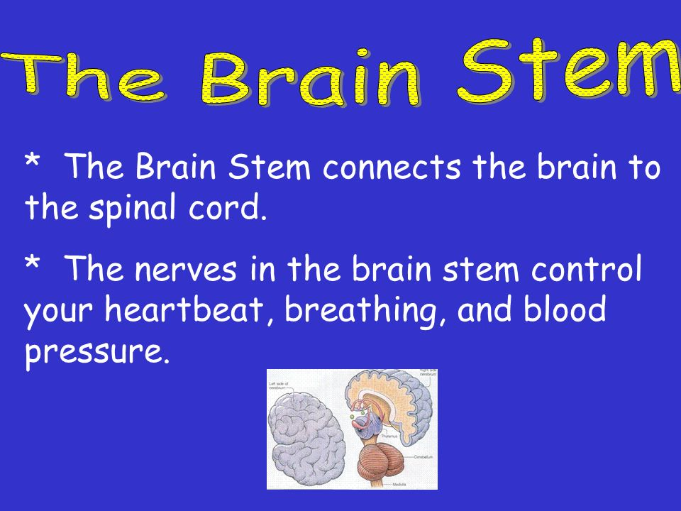The Brain Stem * The Brain Stem connects the brain to the spinal cord.