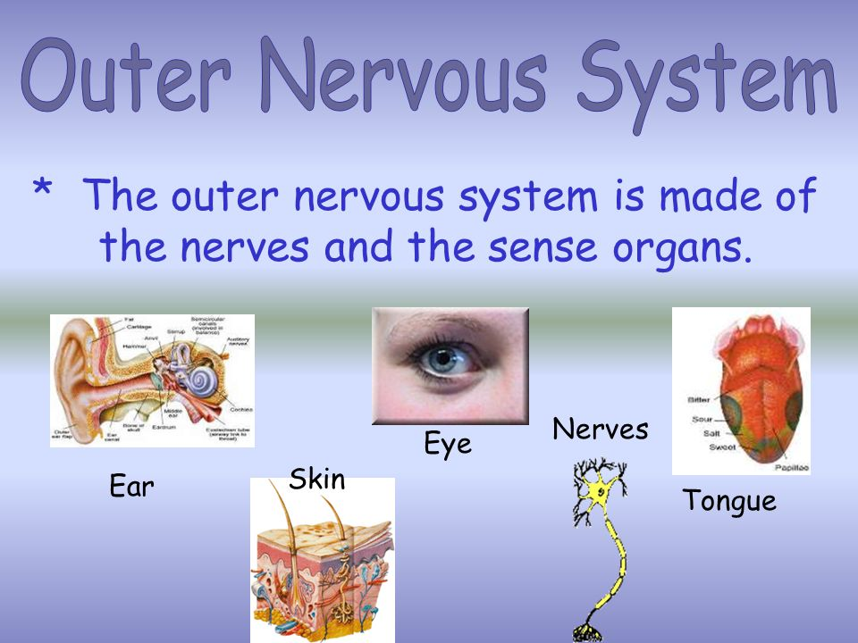 * The outer nervous system is made of the nerves and the sense organs.