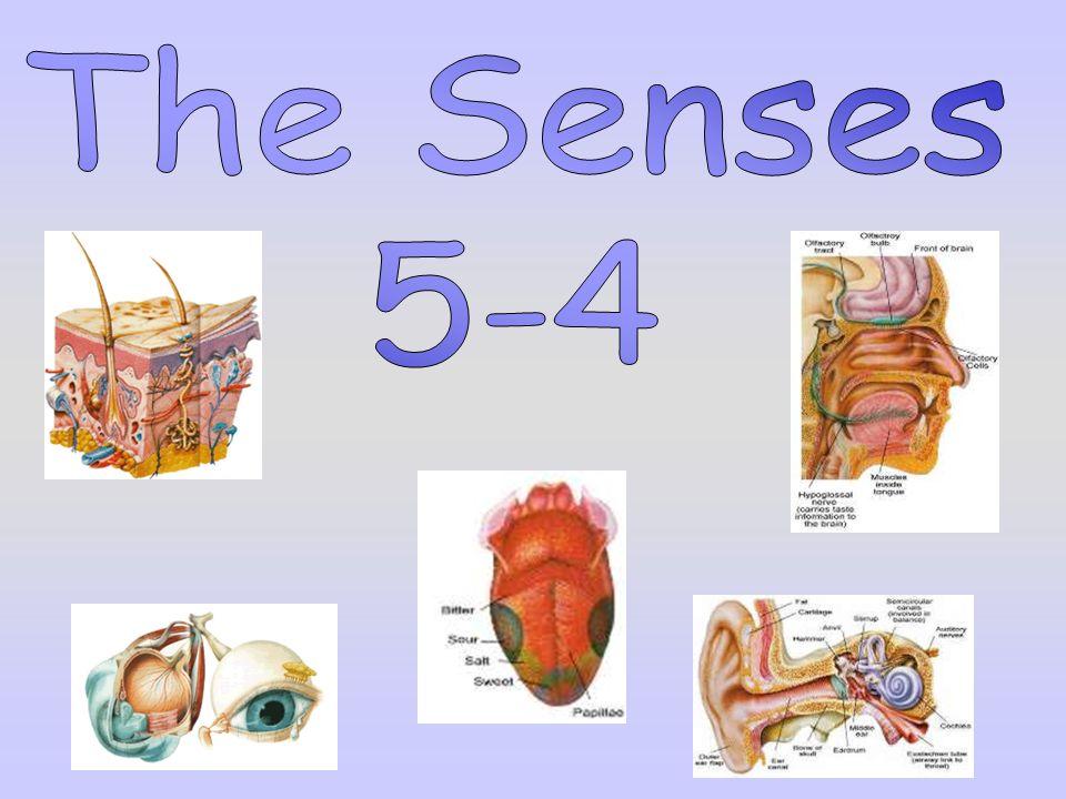 The Senses 5-4