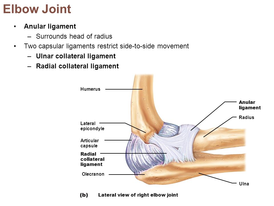 Lateral Ulnar Collateral Ligament Joints Of Upper Limb By Dr Eman