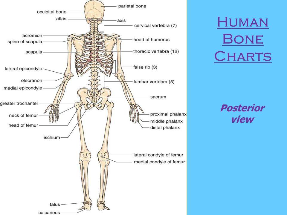 Skeletal System Back View Images - human anatomy organs diagram