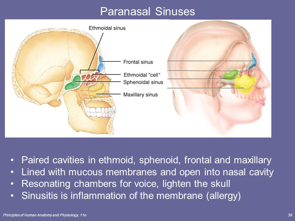 The Skeletal System: The Axial Skeleton Lecture Outline ... Maxillary Sinus Inflammation