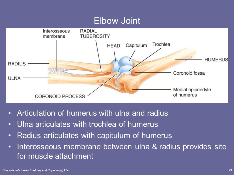 Radius and ulna anatomy