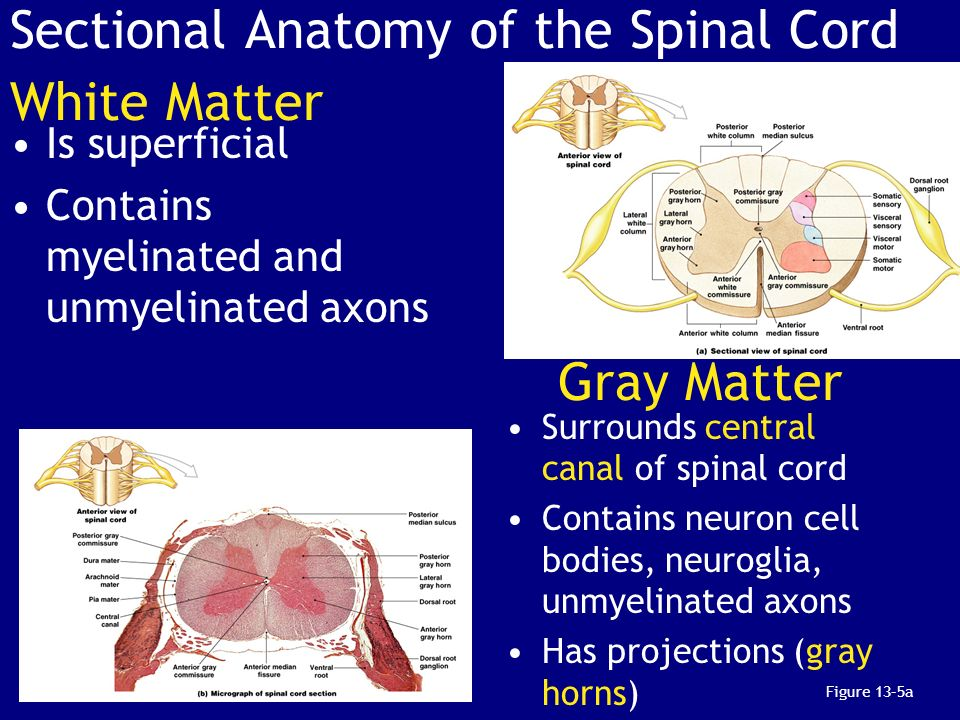 Chapter 13: The Spinal Cord, Spinal Nerves, and Spinal Reflexes ...