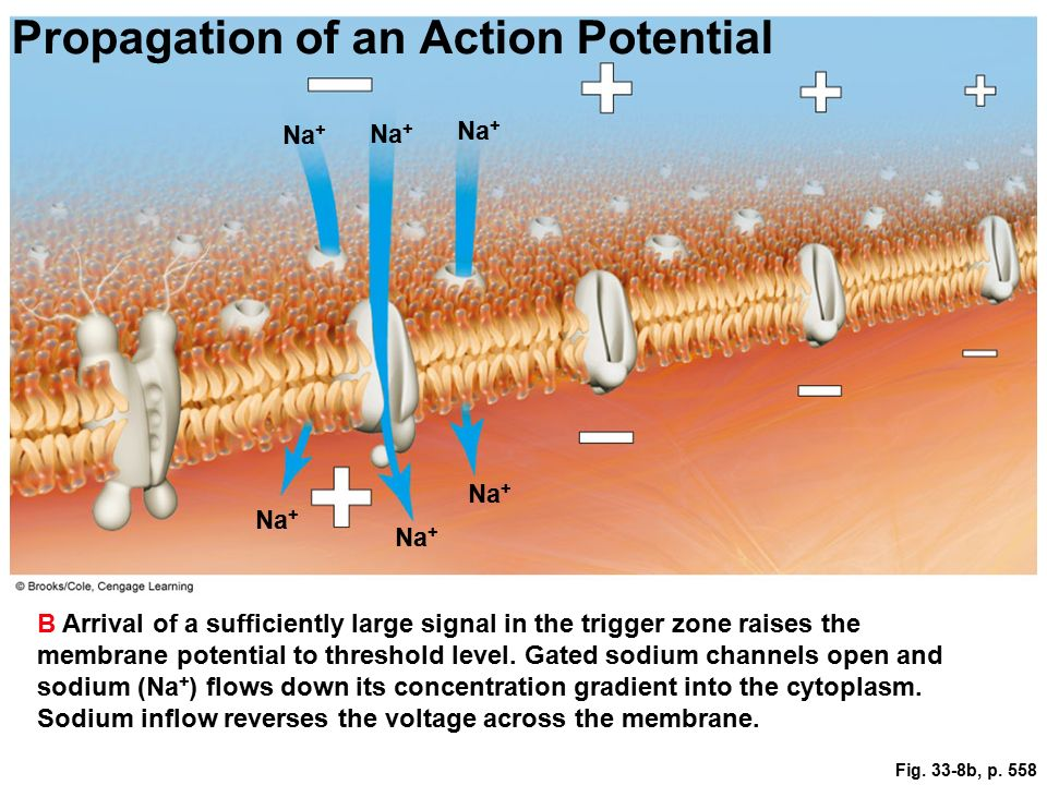 action potential propagation Inward na + currents that occur during the rising phase of an action potential spread out through the interior of an axon in a manner analagous to a graded potential.