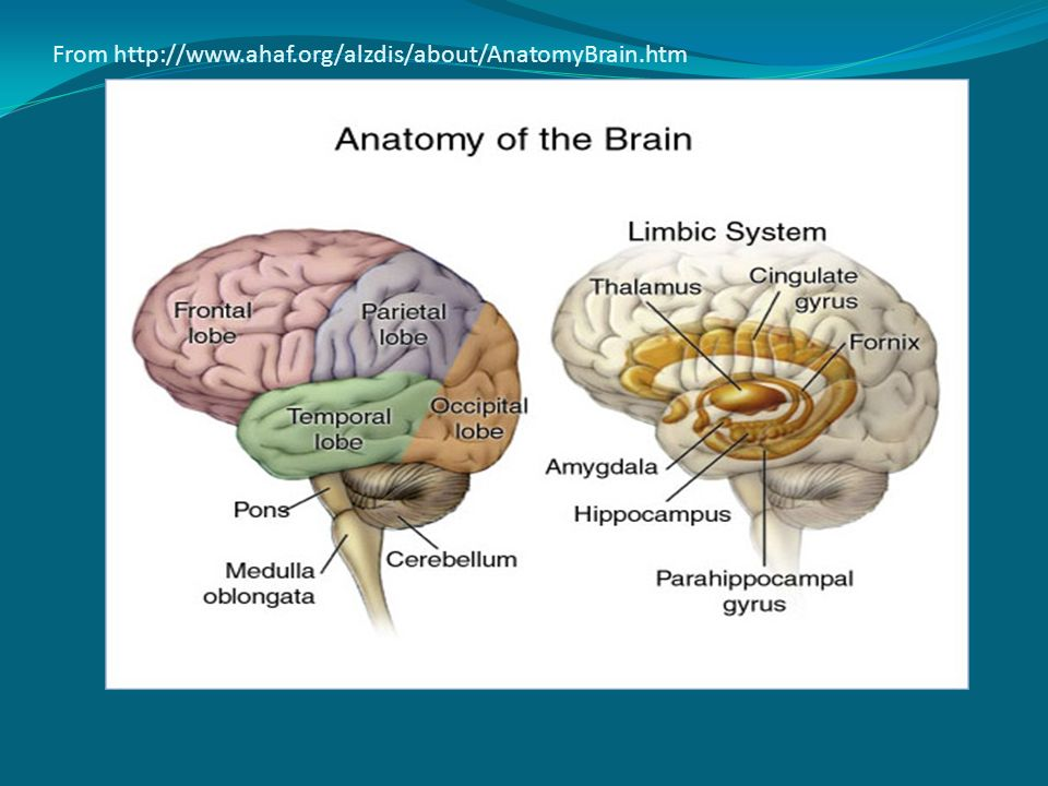 From http://www.ahaf.org/alzdis/about/AnatomyBrain.htm