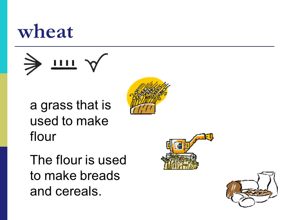 wheat a grass that is used to make flour