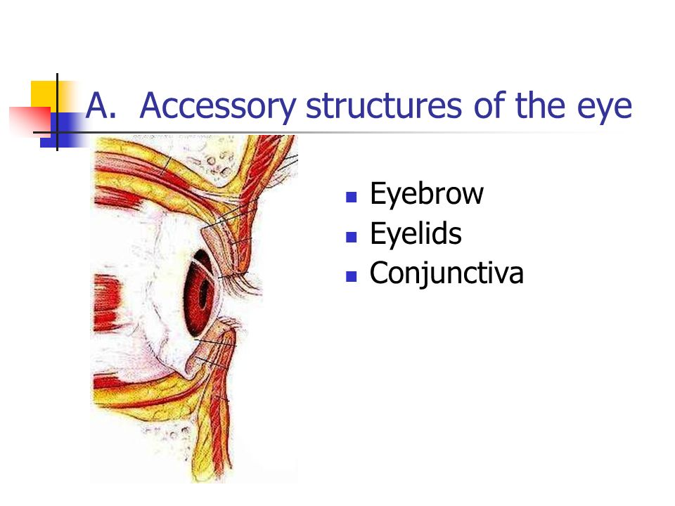 Anatomy & Physiology: The Eye - ppt video online download