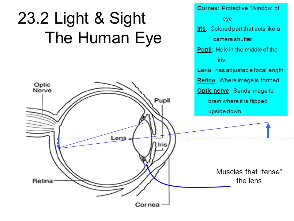 23.2 Light & Sight The Human Eye